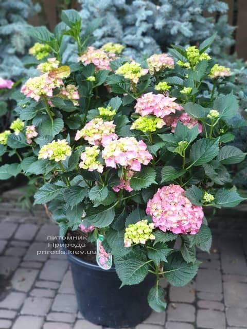 Гортензия крупнолистная Мася (Hydrangea macrophylla Masja) ФОТО Питомник растений Природа (8)