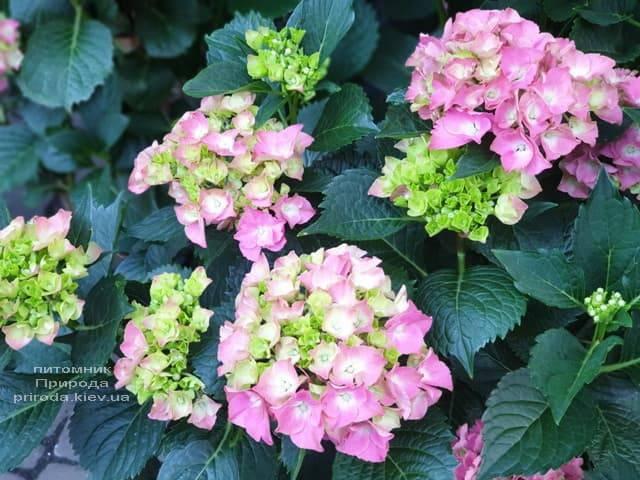 Гортензия крупнолистная Мася (Hydrangea macrophylla Masja) ФОТО Питомник растений Природа (9)