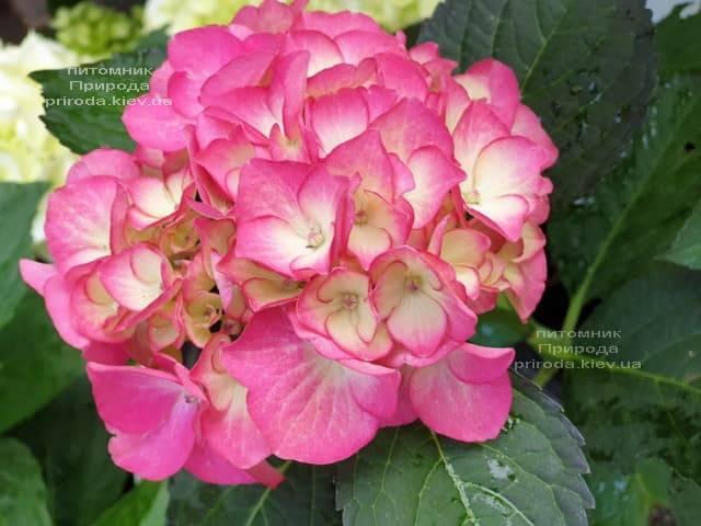 Гортензия крупнолистная Ред Энджел (Hydrangea macrophylla Red Angel) ФОТО Питомник растений Природа (5)