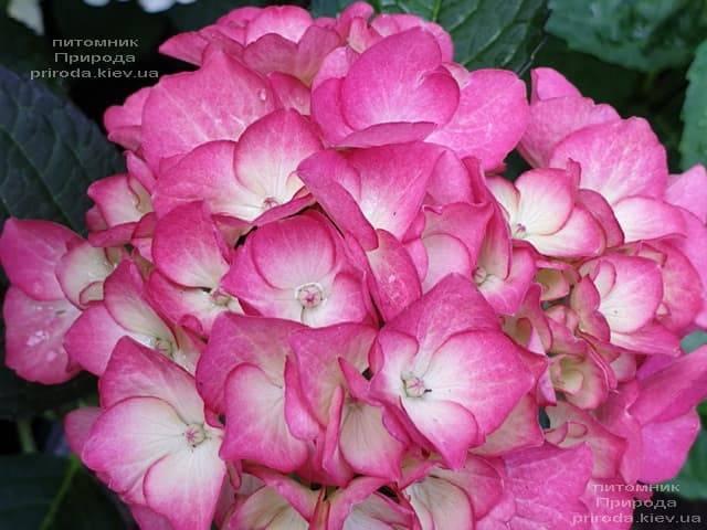 Гортензия крупнолистная Ред Энджел (Hydrangea macrophylla Red Angel) ФОТО Питомник растений Природа (6)