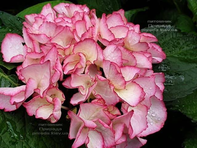 Гортензия крупнолистная Сальса (Hydrangea macrophylla Salsa) ФОТО Питомник растений Природа (10)