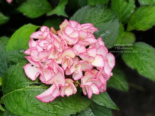 Гортензия крупнолистная Сальса (Hydrangea macrophylla Salsa) ФОТО Питомник растений Природа (11)
