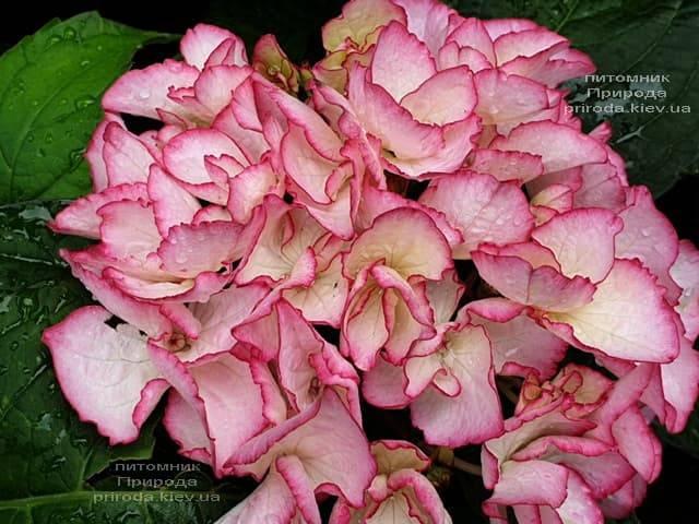 Гортензия крупнолистная Сальса (Hydrangea macrophylla Salsa) ФОТО Питомник растений Природа (2)