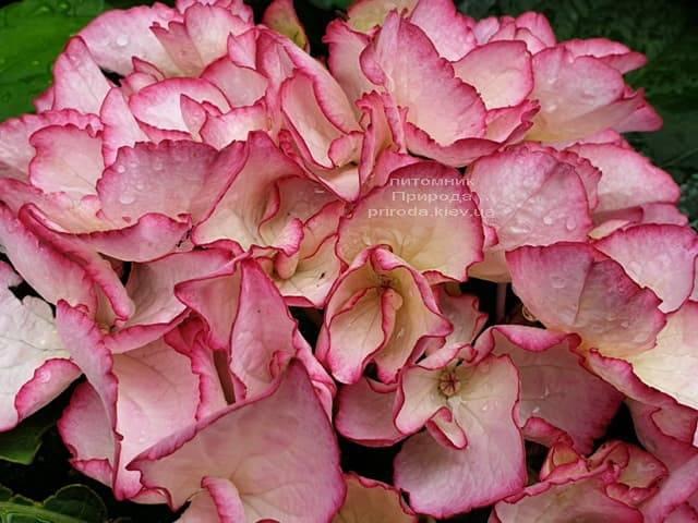 Гортензия крупнолистная Сальса (Hydrangea macrophylla Salsa) ФОТО Питомник растений Природа (4)