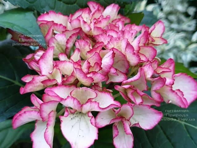 Гортензия крупнолистная Сальса (Hydrangea macrophylla Salsa) ФОТО Питомник растений Природа (7)