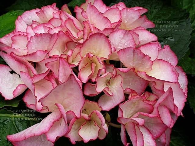 Гортензия крупнолистная Сальса (Hydrangea macrophylla Salsa) ФОТО Питомник растений Природа (9)