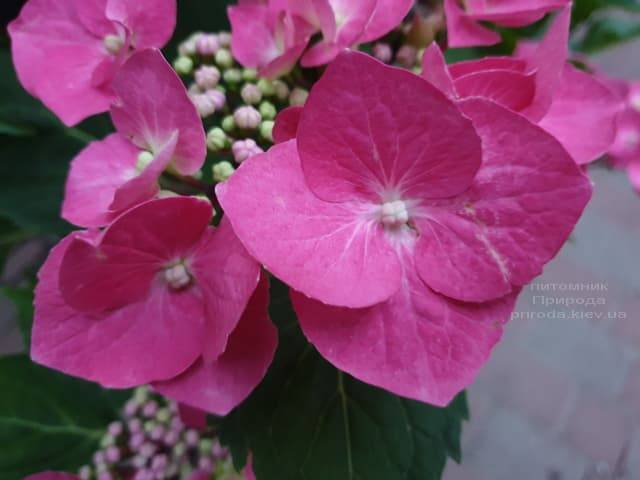 Гортензия крупнолистная Таубе (Hydrangea macrophylla Taube) ФОТО Питомник растений Природа (15)