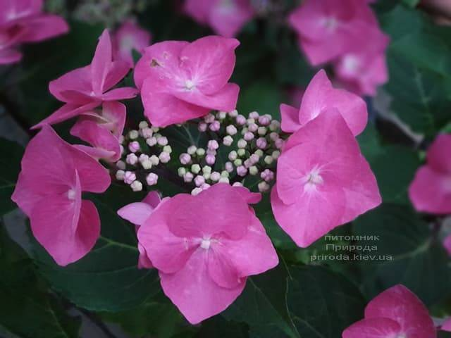 Гортензия крупнолистная Таубе (Hydrangea macrophylla Taube) ФОТО Питомник растений Природа (16)
