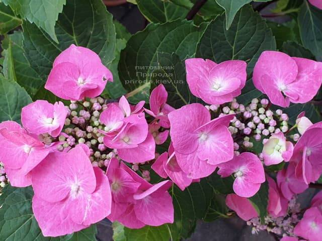 Гортензия крупнолистная Таубе (Hydrangea macrophylla Taube) ФОТО Питомник растений Природа (17)