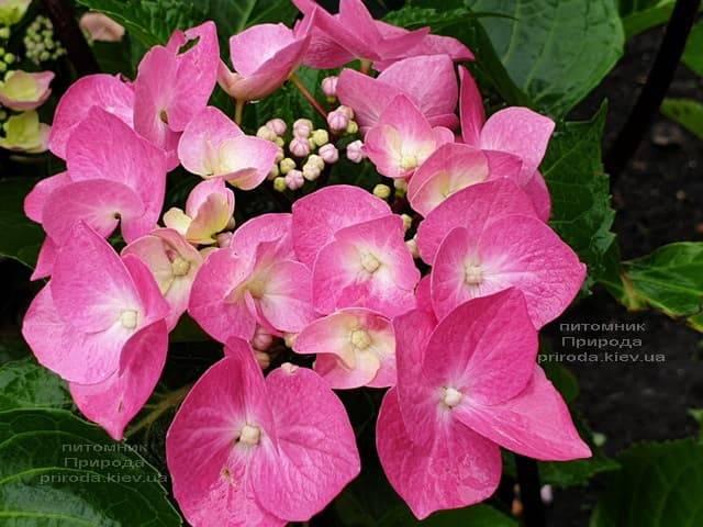 Гортензия крупнолистная Таубе (Hydrangea macrophylla Taube) ФОТО Питомник растений Природа (19)