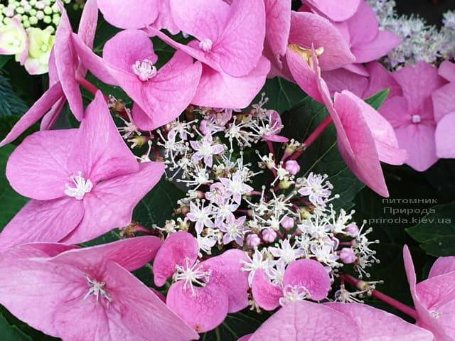 Гортензия крупнолистная Таубе (Hydrangea macrophylla Taube) ФОТО Питомник растений Природа (20)
