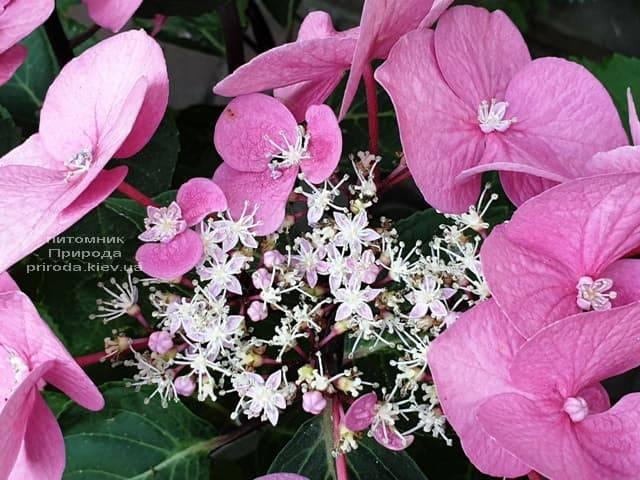 Гортензия крупнолистная Таубе (Hydrangea macrophylla Taube) ФОТО Питомник растений Природа (22)