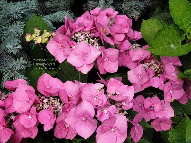 Гортензия крупнолистная Таубе (Hydrangea macrophylla Taube) ФОТО Питомник растений Природа (9)