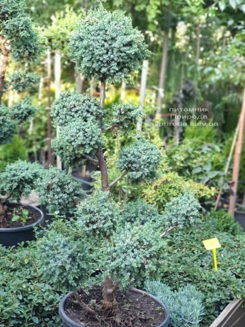 Бонсай Можжевельник китайский Блю Альпс (Juniperus chnensis Blue Alps) ФОТО Питомник растений Природа (2)
