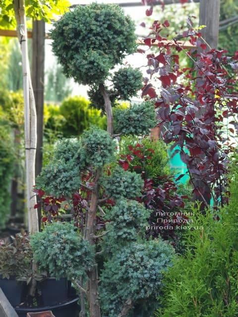 Бонсай Можжевельник китайский Блю Альпс (Juniperus chnensis Blue Alps) ФОТО Питомник растений Природа (5)