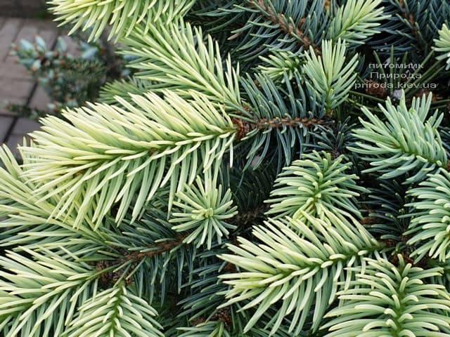 Ель голубая Биалобок (Picea pungens Bialobok) ФОТО Питомник растений Природа (5)