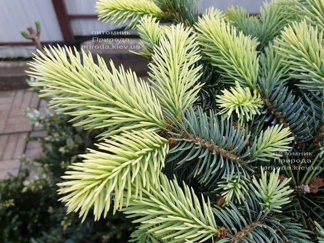 Ель голубая Биалобок (Picea pungens Bialobok) ФОТО Питомник растений Природа (7)