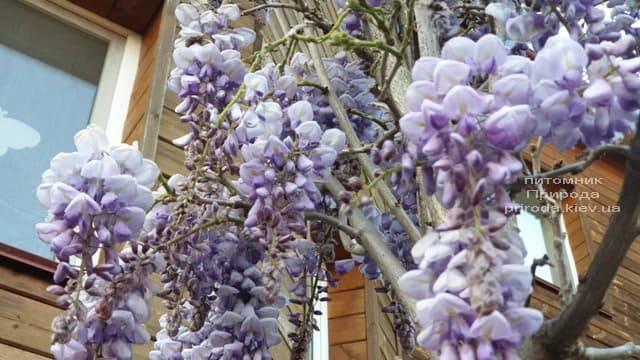 Глициния китайская (Wisteria sinensis) ФОТО Питомник растений Природа (3)