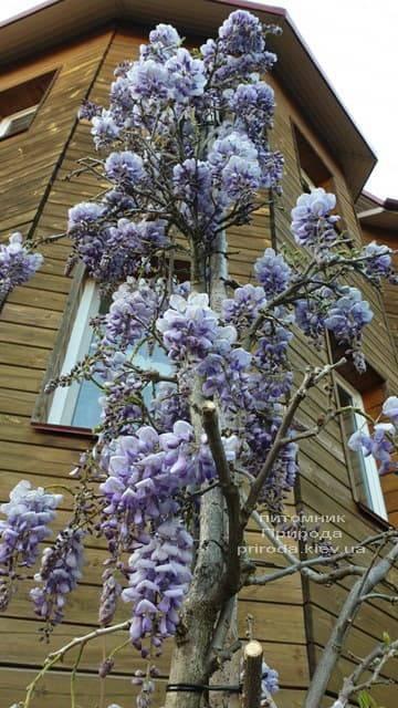 Глициния китайская (Wisteria sinensis) ФОТО Питомник растений Природа (7)