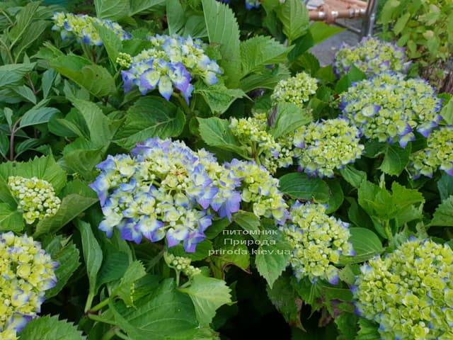 Гортензия крупнолистная Бела (Hydrangea macrophylla Bela) ФОТО Питомник растений Природа (2)