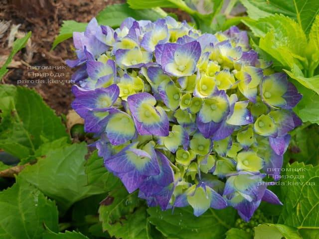 Гортензия крупнолистная Бела (Hydrangea macrophylla Bela) ФОТО Питомник растений Природа (3)