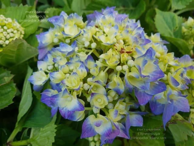 Гортензия крупнолистная Бела (Hydrangea macrophylla Bela) ФОТО Питомник растений Природа (4)