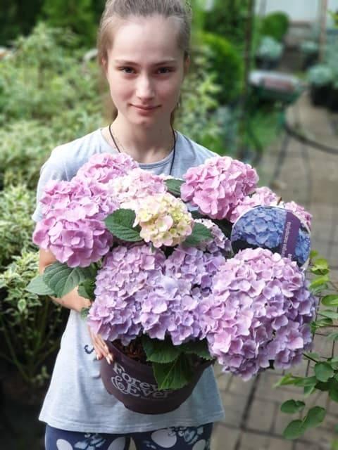 Гортензия крупнолистная Форевер Эвер Блю (Hydrangea macrophylla Forever & Ever Blue) ФОТО Питомник растений Природа