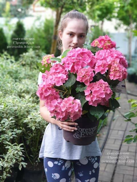 Гортензия крупнолистная Форевер Эвер Рэд (Hydrangea macrophylla Forever & Ever Red) ФОТО Питомник растений Природа (18)