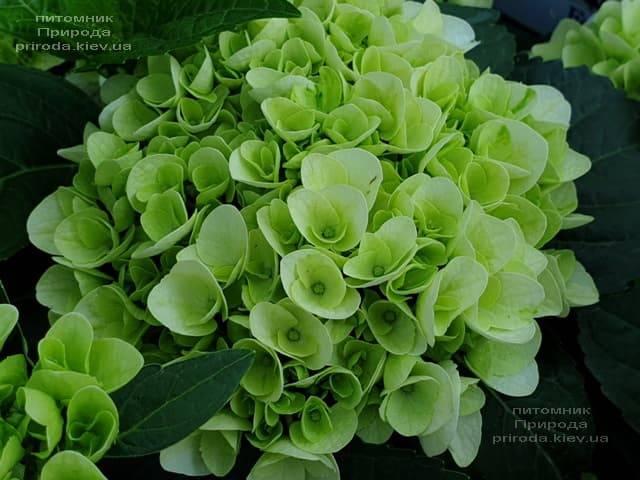 Гортензия крупнолистная Форевер Эвер Вайт (Hydrangea macrophylla Forever & Ever White) ФОТО Питомник растений Природа (10)