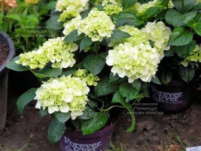 Гортензия крупнолистная Форевер Эвер Вайт (Hydrangea macrophylla Forever & Ever White) ФОТО Питомник растений Природа (11)