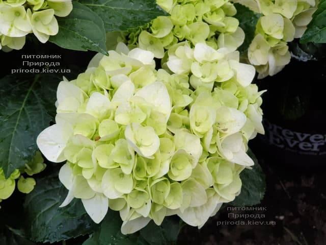 Гортензия крупнолистная Форевер Эвер Вайт (Hydrangea macrophylla Forever & Ever White) ФОТО Питомник растений Природа (12)