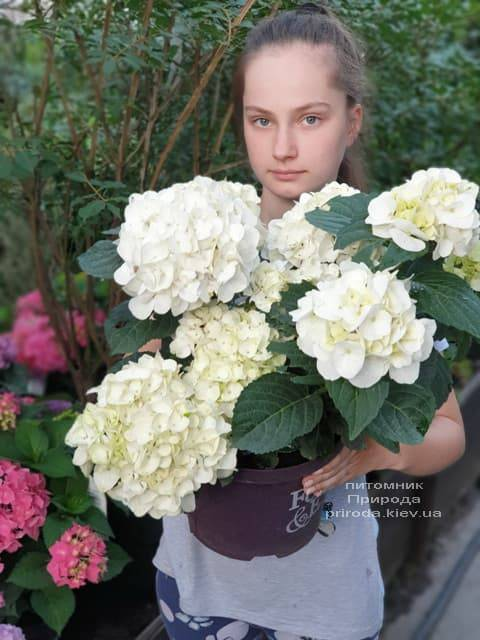 Гортензия крупнолистная Форевер Эвер Вайт (Hydrangea macrophylla Forever & Ever White) ФОТО Питомник растений Природа (14)