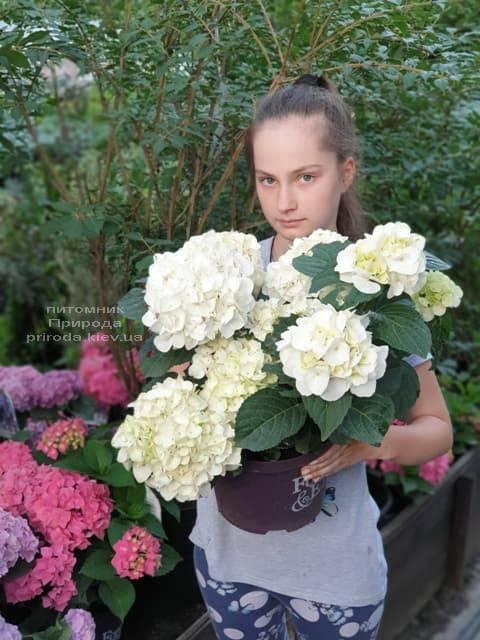 Гортензия крупнолистная Форевер Эвер Вайт (Hydrangea macrophylla Forever & Ever White) ФОТО Питомник растений Природа