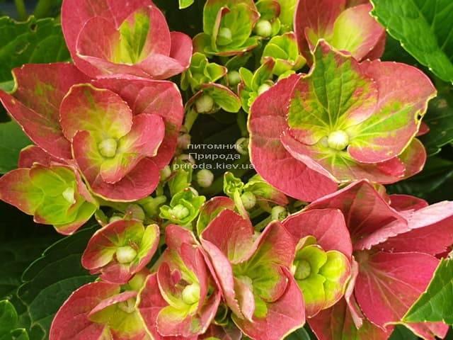 Гортензия крупнолистная Хот Рэд (Hydrangea macrophylla Hot Red) ФОТО Питомник растений Природа (1)