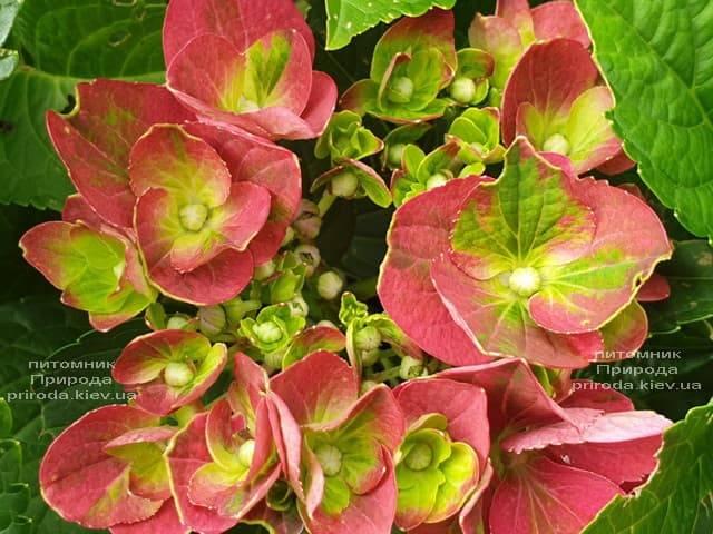 Гортензия крупнолистная Хот Рэд (Hydrangea macrophylla Hot Red) ФОТО Питомник растений Природа (3)