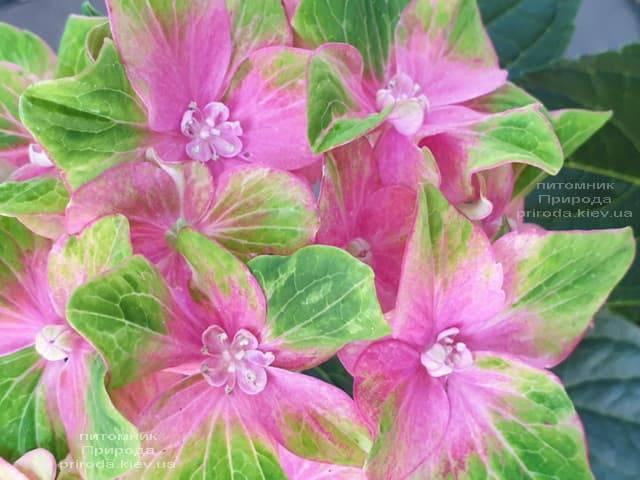 Гортензия крупнолистная Шлосс Вакербарт (Hydrangea macrophylla Schloss Wackerbarth) ФОТО Питомник растений Природа (8)