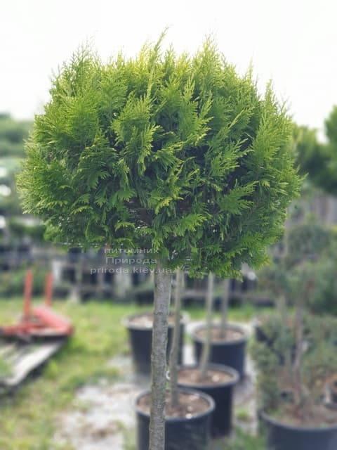 Кипарисовик Лавсона Ивонне на штамбе (Chamaecyparis lawsoniana Ivonne) ФОТО Питомник растений Природа (6)
