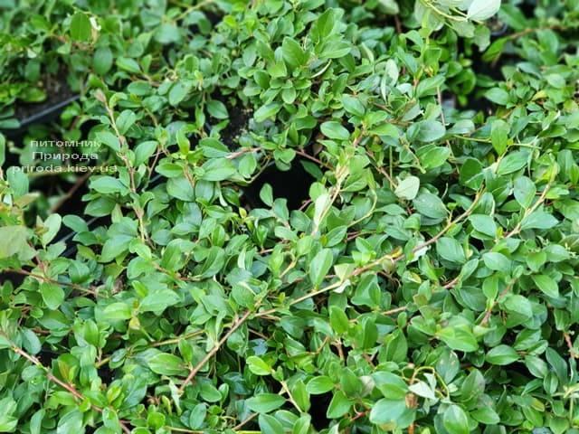 Кизильник Даммера Майор (Cotoneaster dammeri Major) ФОТО Питомник растений Природа (3)