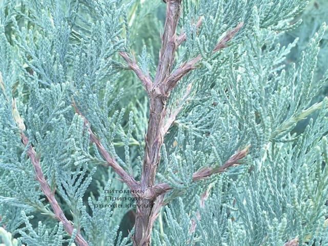Можжевельник скальный Мунглов (Juniperus scopolorum Moonglow) ФОТО Питомник растений Природа (13)