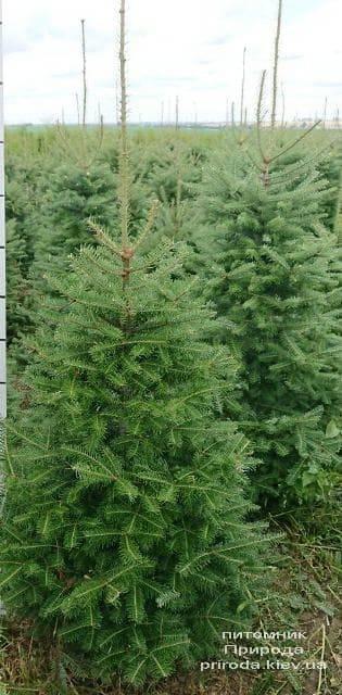 Пихта бальзамическая (Abies balsamea) ФОТО Питомник растений Природа (6)