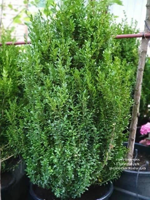 Самшит вечнозелёный (Buxus sempervirens) ФОТО Питомник растений Природа (10)