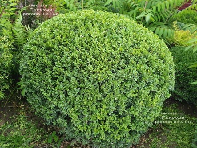 Самшит вечнозелёный Шар (Buxus sempervirens Boll) ФОТО Питомник растений Природа (17)