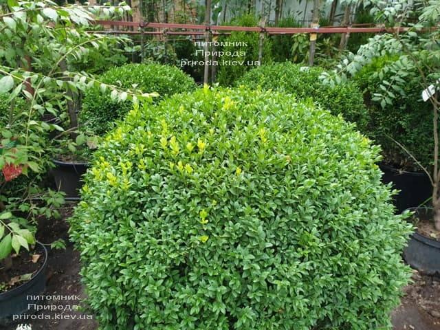 Самшит вечнозелёный Шар (Buxus sempervirens Boll) ФОТО Питомник растений Природа (19)