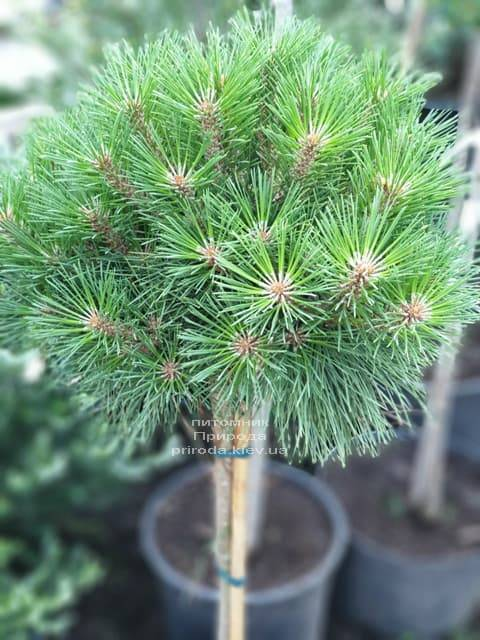 Сосна чёрная Брепо (Pinus nigra Brepo) на штамбе ФОТО Питомник растений Природа (1)