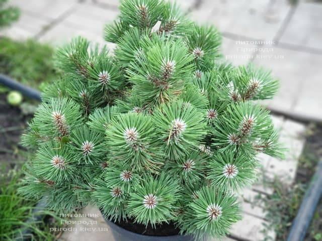 Сосна Хельга (Pinus nigra Helga) ФОТО Питомник растений Природа (2)