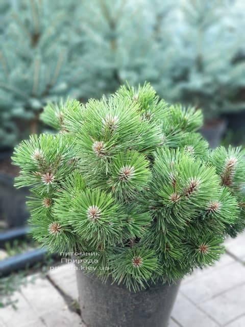 Сосна Хельга (Pinus nigra Helga) ФОТО Питомник растений Природа (3)