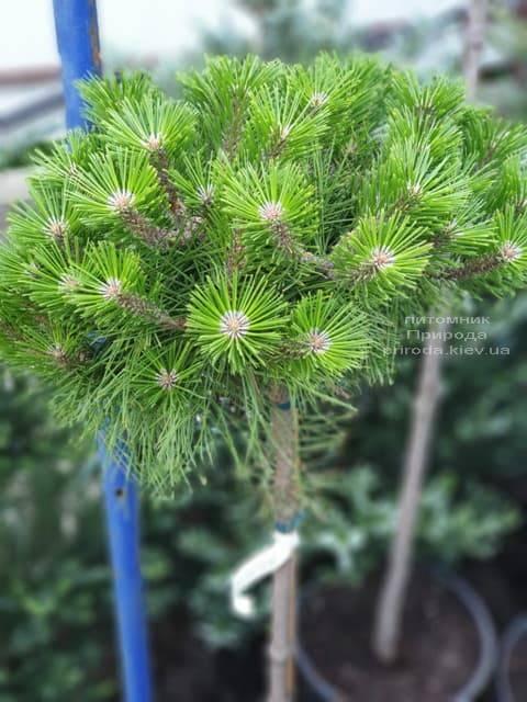 Сосна густоцветковая Лоу Глоу (Pinus densiflora Low Glow) ФОТО Питомник растений Природа (1)