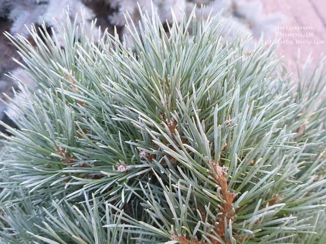 Сосна обыкновенная Ватерери (Pinus sylvestris Watereri) ФОТО Питомник растений Природа (3)