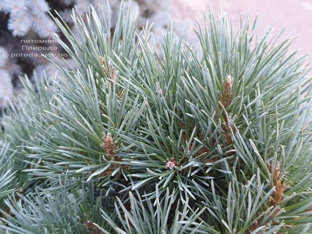 Сосна обыкновенная Ватерери (Pinus sylvestris Watereri) ФОТО Питомник растений Природа (7)
