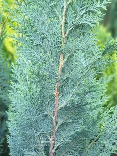 Кипарисовик Лавсона Колумнарис (Chamaecyparis lawsoniana Columnaris) ФОТО Питомник растений Природа (10)